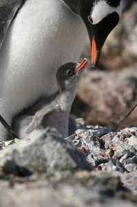 penguin mom and baby,penguin baby,pregnancy nesting